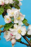 äppleblommor Royaltyfri Bild