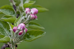 äppleblomning Fotografering för Bildbyråer