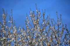 äppleblomning Arkivfoton