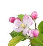 äppleblomning Arkivfoto