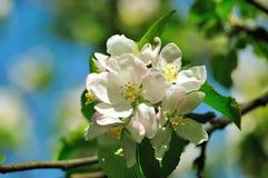 äppleblomning Royaltyfri Bild