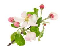 äppleblomning Royaltyfri Foto