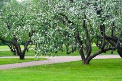 äppleblomning Arkivbild