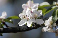 äppleblomning Royaltyfria Foton
