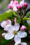 äppleblomningar Royaltyfria Bilder