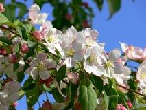 äppleblomningar Royaltyfri Fotografi