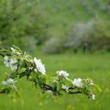 äppleblomningfjäder arkivfoto