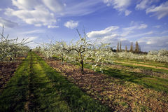 äppleblomningfruktträdgårdar Arkivbilder