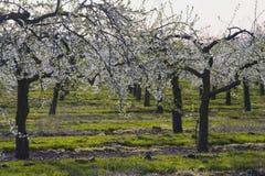 äppleblomningfruktträdgårdar arkivfoto