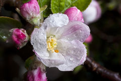 äppleblomninghäftigt regn royaltyfria foton