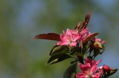 äppleblomningkrabba Royaltyfri Bild