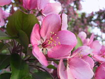 äppleblomningpink Arkivfoton