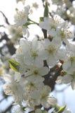 äppleblomningtid Arkivbilder