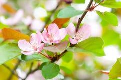 äppleblomningtree Royaltyfri Fotografi