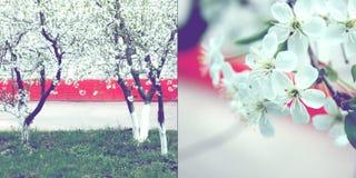 äppleblomningtree Royaltyfri Bild
