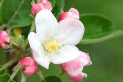 äppleblomningtree fotografering för bildbyråer