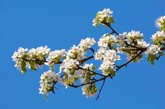 äppleblomningtree Arkivfoto