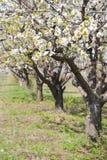 äppleblomningtrees royaltyfri fotografi
