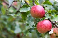 äpplefilialen bär fruktt fruktträdgården Arkivbilder