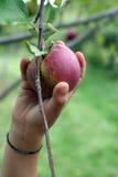 äpplefilialhanden - välj att ne till upp arkivfoton