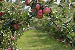 äpplefruktträdgård royaltyfri fotografi
