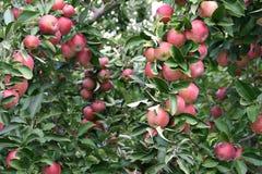 äpplefruktträdgård Royaltyfria Foton