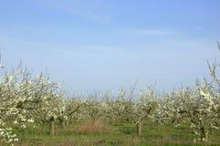 äpplefruktträdgård arkivfoto