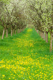äpplefruktträdgård royaltyfri bild