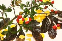 äpplehösten undersöker torra leafs för sammansättning som plundrar vasen Sammansättningen består av filialer och lös ros royaltyfri bild