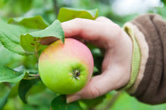 äpplehand Arkivfoto