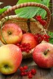 äpplekorgviburnum Arkivbild