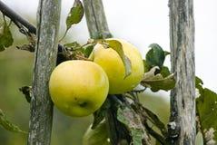 Äpplen äpple, frukt som är röd, bakgrund som är ny, höst, nedgång arkivbild
