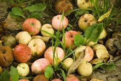 Äpplen äpple, frukt som är röd, bakgrund som är ny, höst, nedgång arkivfoto