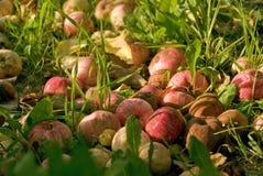 Äpplen äpple, frukt som är röd, bakgrund som är ny, höst, nedgång royaltyfria foton