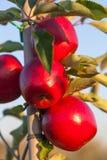 Äpplen Arkivfoto