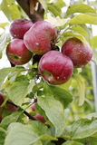 Äpplen 15 Royaltyfri Fotografi