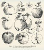 Äpplen. vektor illustrationer