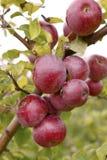 Äpplen 26 Royaltyfri Foto