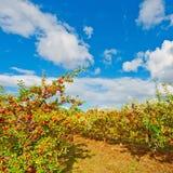 Äpplen Royaltyfri Foto