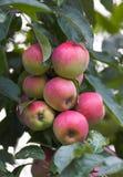 äpplen arbeta i trädgården mitt Fotografering för Bildbyråer