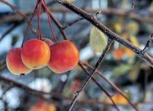 äpplen arbeta i trädgården mitt Royaltyfria Bilder