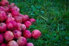 Äpplen av paradiset Arkivfoton