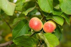Äpplen bland lövverket Arkivbilder