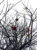 Äpplen dinglar fortfarande på ett äppleträd arkivfoto