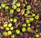 äpplen fångar krabbor fallgolvskogen Fotografering för Bildbyråer