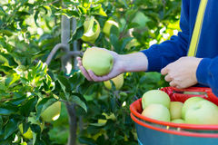 Äpplen för kvinnaplockninggräsplan Royaltyfri Fotografi