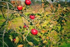 Äpplen förlorade i trädet arkivfoton