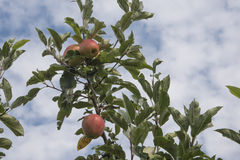 Äpplen framme av himmel Arkivfoto