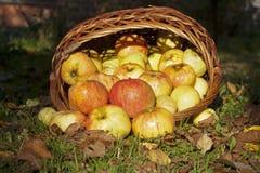 Äpplen häller ut ur den vide- korgen Fotografering för Bildbyråer