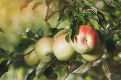Äpplen i äpplefruktträdgården Arkivfoto